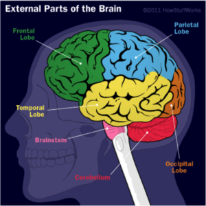 Brain health national brain health center for african americans the cerebrum is the largest part of the human brain it contains all of the centers that receive and interpret sensory information initiate movement ccuart Gallery